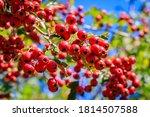 Red Berries In Autumn Garden....