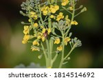 A Bee On Yellow Broccoli Flowers