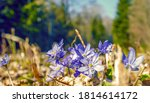 violet hepatica nobilis  first... | Shutterstock . vector #1814614172