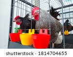 Chickens In A Cage Next To The...