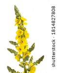 Mullein Flowers Isolated On...