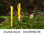 Calocera Viscosa  Commonly...