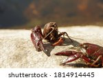 Couple Of Red Crayfish On An...
