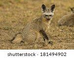 bat eared fox  otocyon... | Shutterstock . vector #181494902