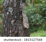 Eastern Gray Squirrel Sciurus...
