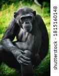 Animal Portrait   Chimpanzee...
