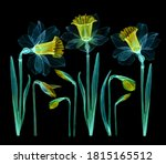 set of daffodils transparent... | Shutterstock . vector #1815165512