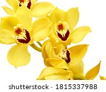 Yellow Cymbidium Orchid Or Boa...