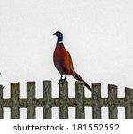 Male Pheasant Standing On Ston...