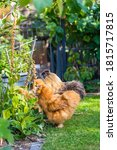 Silkie   Breed Poultry With...