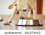 Stock photo hungry labrador retriever is feeding at home 181573412