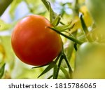 Single Fresh Red Tomato On The...