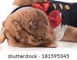 Cute Puppy   Dogue De Bordeaux...