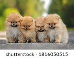 Four Pomeranian Spitz Puppies...
