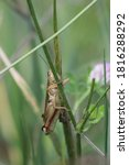 Red Legged Grasshopper Peeking...