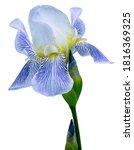 Blue White Flower Iris On A...