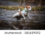 Jack Russell Dog Dirt