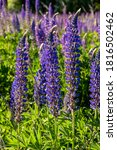 Blue Lupines Or Lupinus...