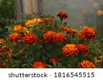 French Marigold Flowers Growing ...