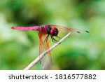 Red Dragonfly On Dry Branch ...