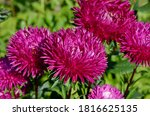 Pink Aster Flowers Close Petals