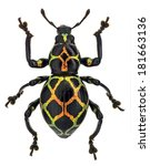 Small photo of exotic weevil Pachyrhynchus reticulatus
