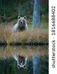 Bear Hidden In Yellow Forest ...