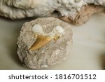 Fossil Shark Tooth Embedded In...