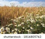 Russian Field  Summer Landscape ...