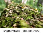 Fallen Tree With Thick Moss On...