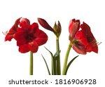 Three Blooming Dark  Red...