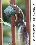 Small photo of Pesky squirrel climbs up to get at a cup of bird seed