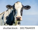 Cow Looking Friendly  Portrait...