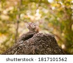 Chipmunk Sits On A Rock With...