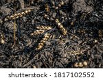 Wheat Harvest Burned In The...
