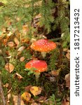 Two Red Fly Agarics In The...