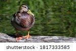 Single Male Mallard Duck  Anas...