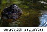 Single Female Tufted Duck ...