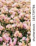 blooming orchid   phalaenopsis  ... | Shutterstock . vector #181739786
