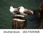 Two Sea Gulls Resting On Pier...