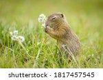 European Ground Squirrel ...