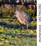 A Green Heron about to eat a mudminnow that it just captured.