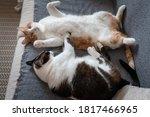 Two Domestic Cats Sleep...