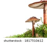 Two Brown Mushrooms On Wet And...