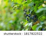 Wild Blackberry Growing Wild...