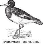 Oystercatcher Bird  From The...