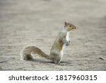 Grey Haired Squirrel In Park
