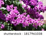 Flower Of Bougainvillea Is A...