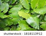Large Leaves Of Rainforest...