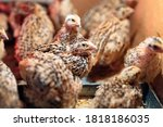 Quail Chicks In A Cage On The...
